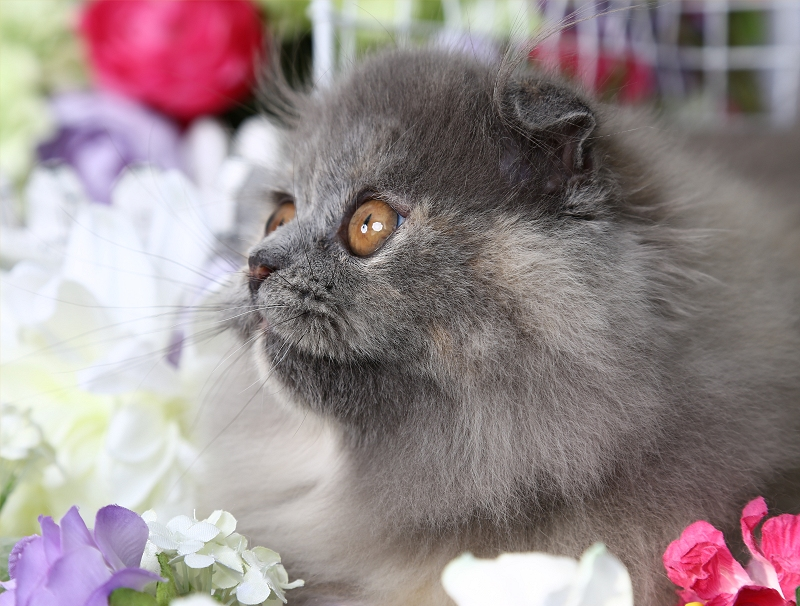 Doll Face Persian Kittens - Minuet Kitten - Rug Hugger Kitten