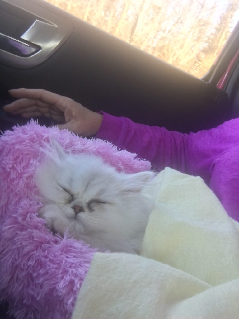 Doll Face Persian Kitten Reviews