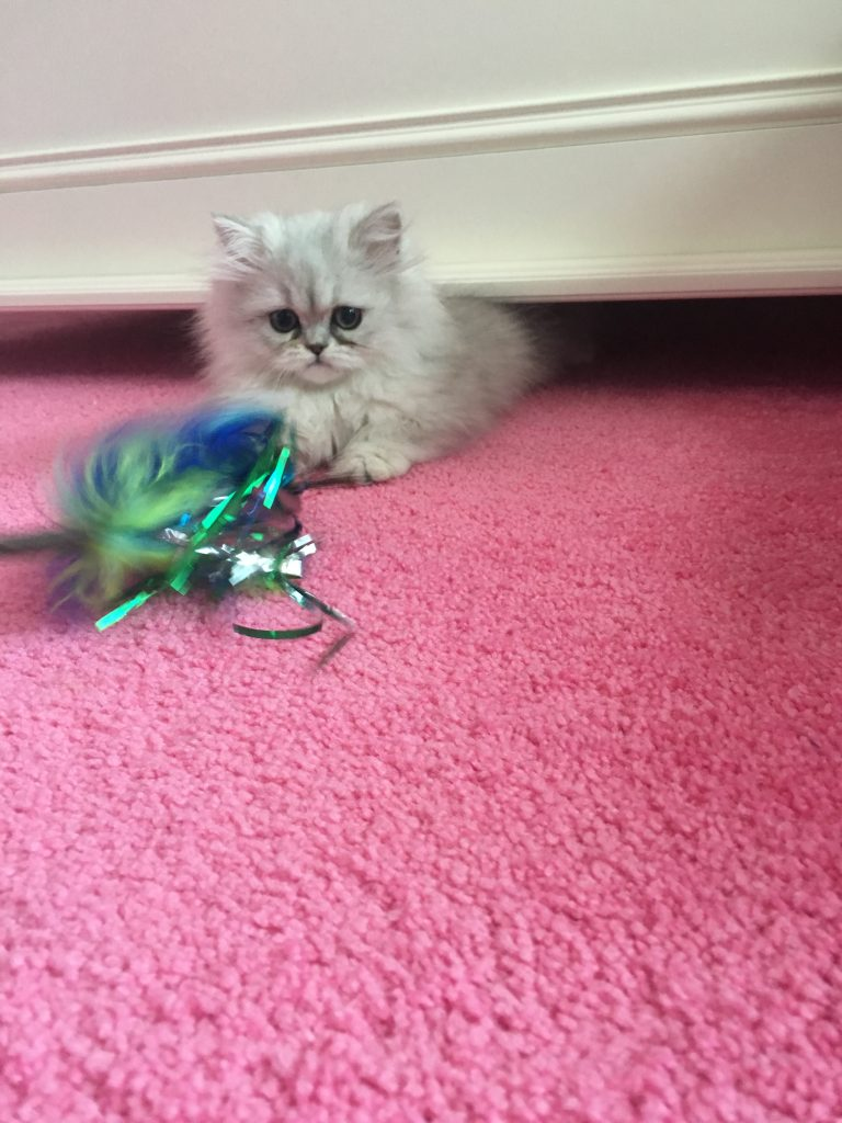Doll Face Persian Kitten Review