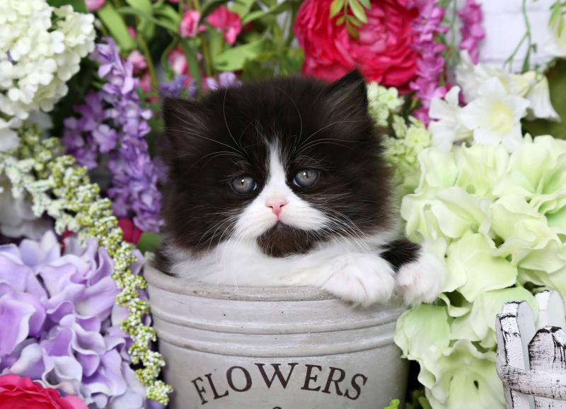 Tuxedo Persian Kitten for Sale