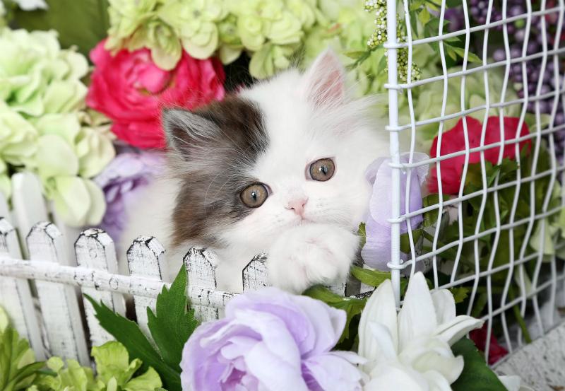 Dollface Persian