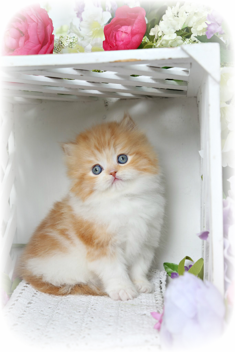 Red & White Kitten