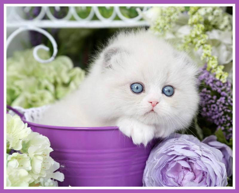 Lilac Bi-Color Himalayan