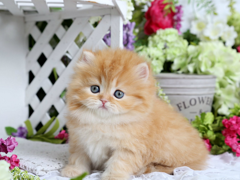 Red Persian Kitten for Sale