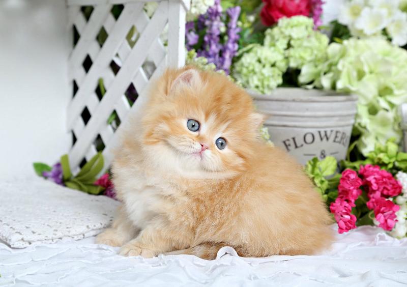 Red Female Kitten