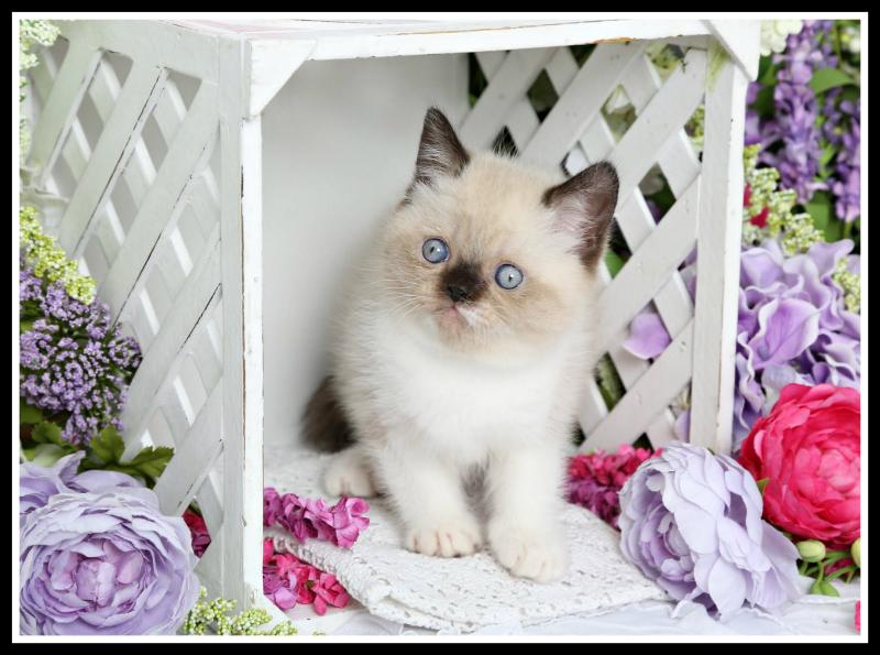 Exotic Short Hair Kitten for Sale