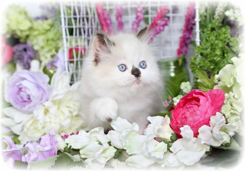 Seal Bicolor & White Himalayan Kitten