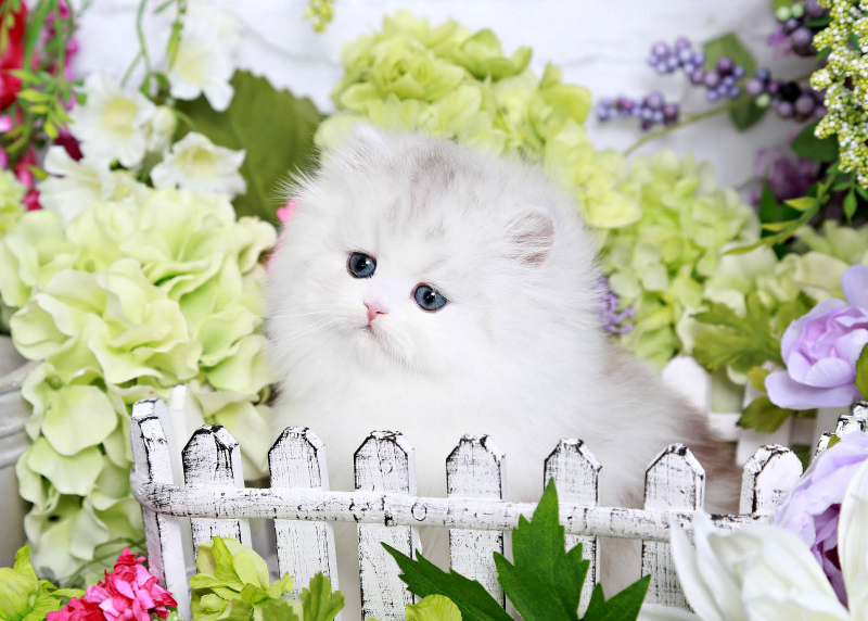 Silver & White Persian