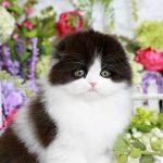Black and White Persian