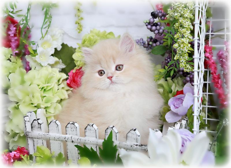 Cream Persian