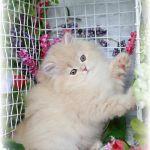 Persian Kitten for Sale
