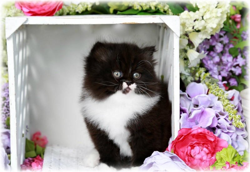 Black & White Persian