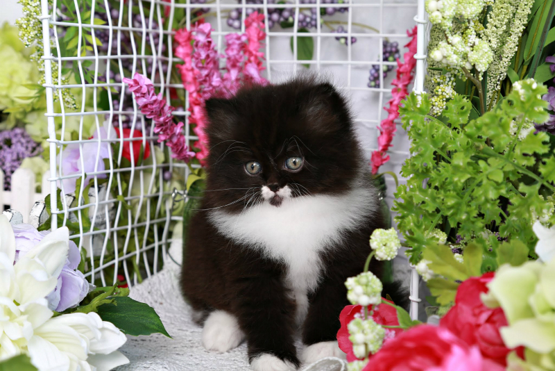 Doll Face Persian Kitten for Sale