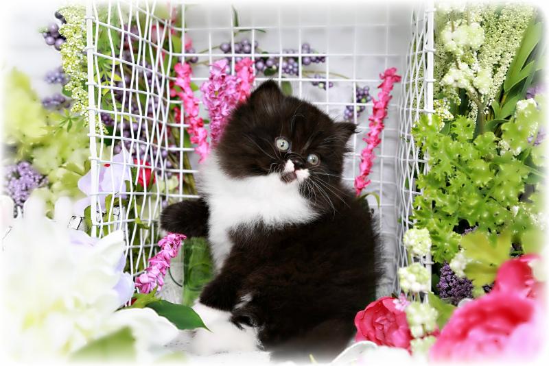Dollface Persian Kitten