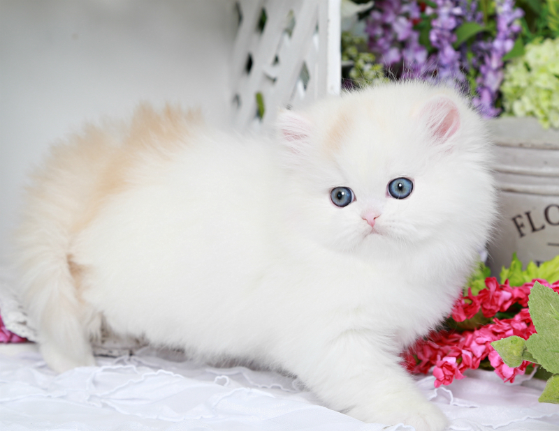 Bi-Color Persian Kitten