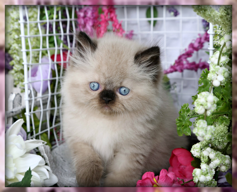 Seal Point Himalayan Doll Face Kitten
