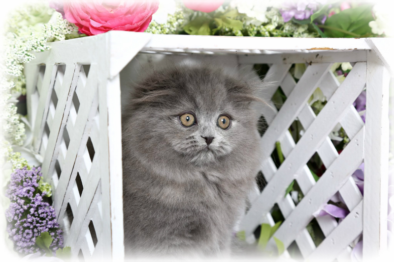 Blue Persian Fold Kitten