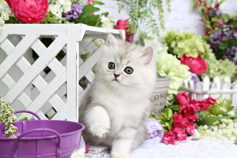 Silver Kitten