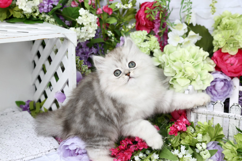 Silver Tipped Persian Kitten