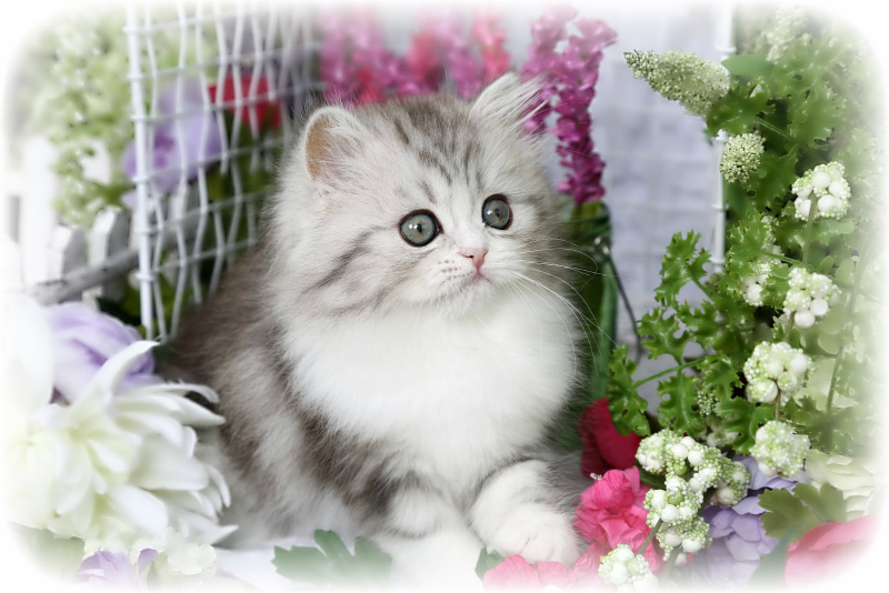 Silver and White Kitten