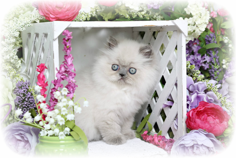 Blue Cream Himalayan