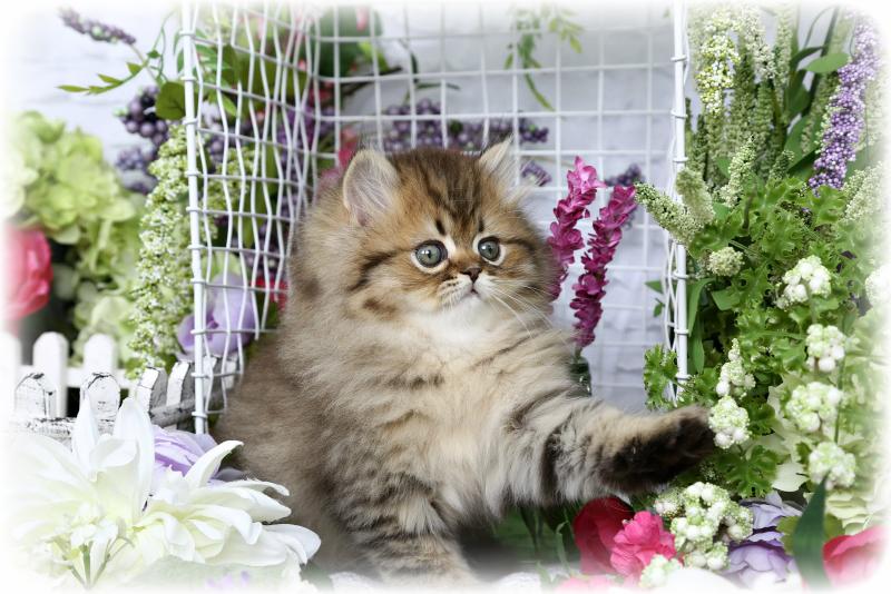 Shaded Golden Kitten