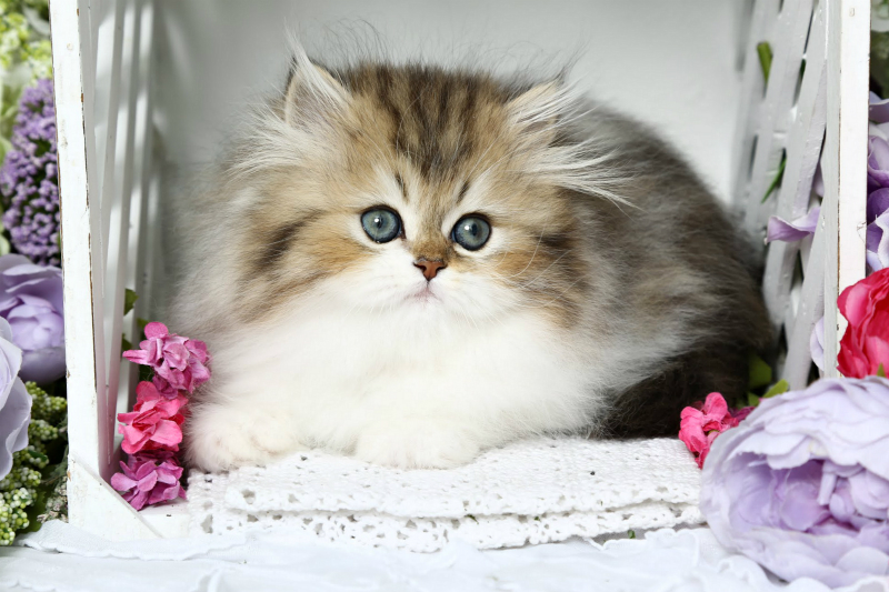 Golden & White Persian