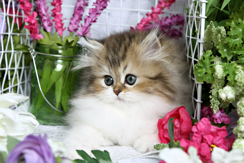 Golden and White Persian Kitten