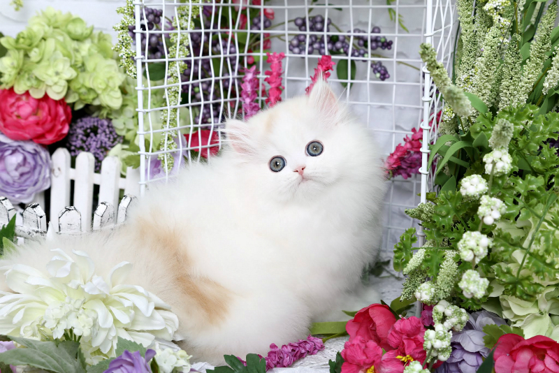 Cream & White Persian