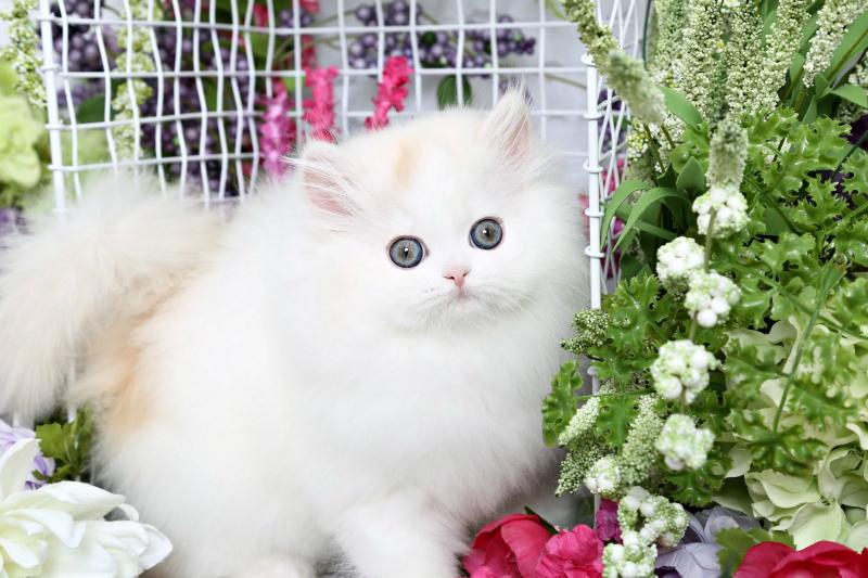 Cream and White Persian