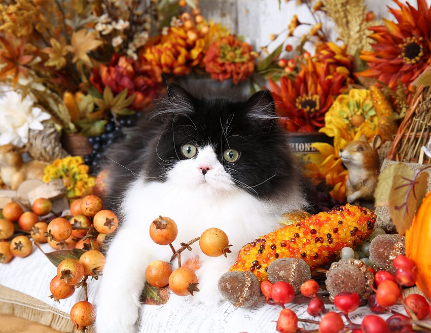 Black and white bicolor Persian