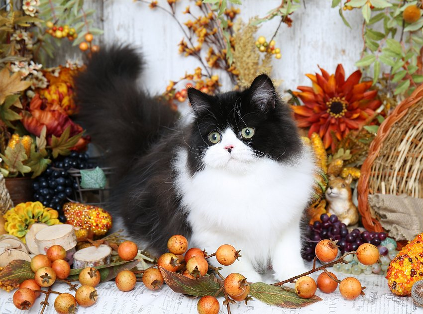 Black and white bicolor Persian
