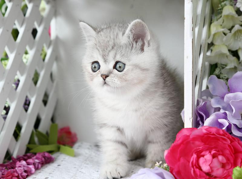Short Hair Persian Kitten