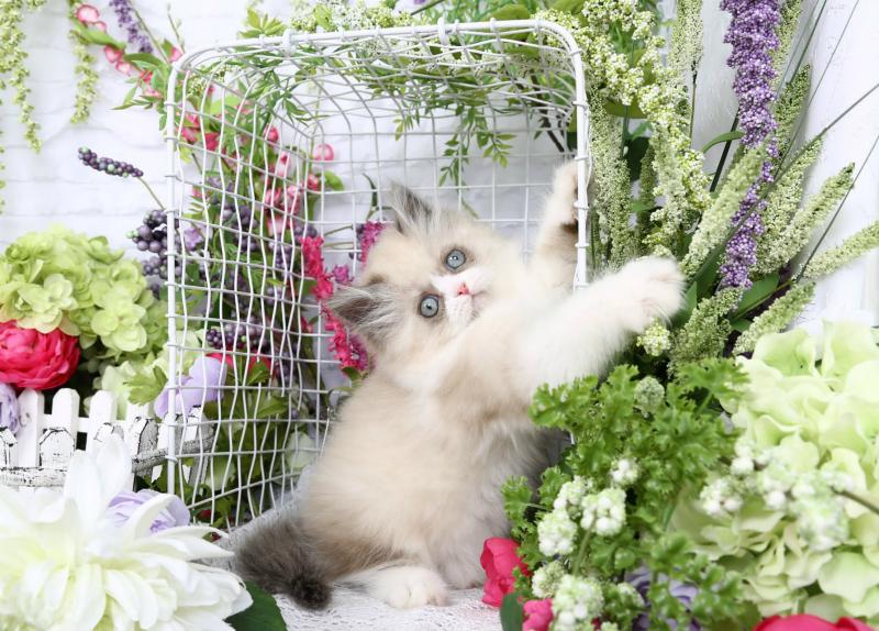 Seal Bicolor & White Himalayan Kitten