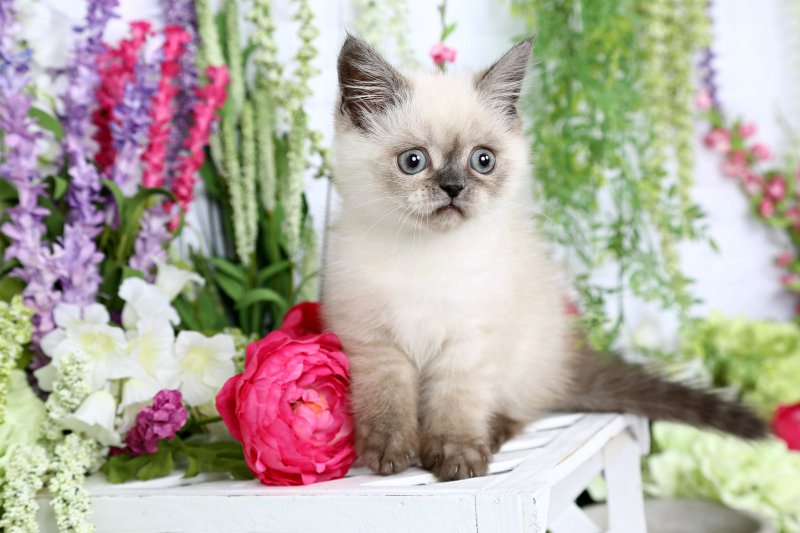 Seal Point Exotic Shorthair Persian Kitten