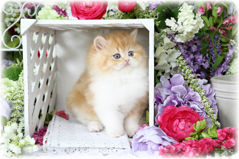 Red and White Persian Kitten