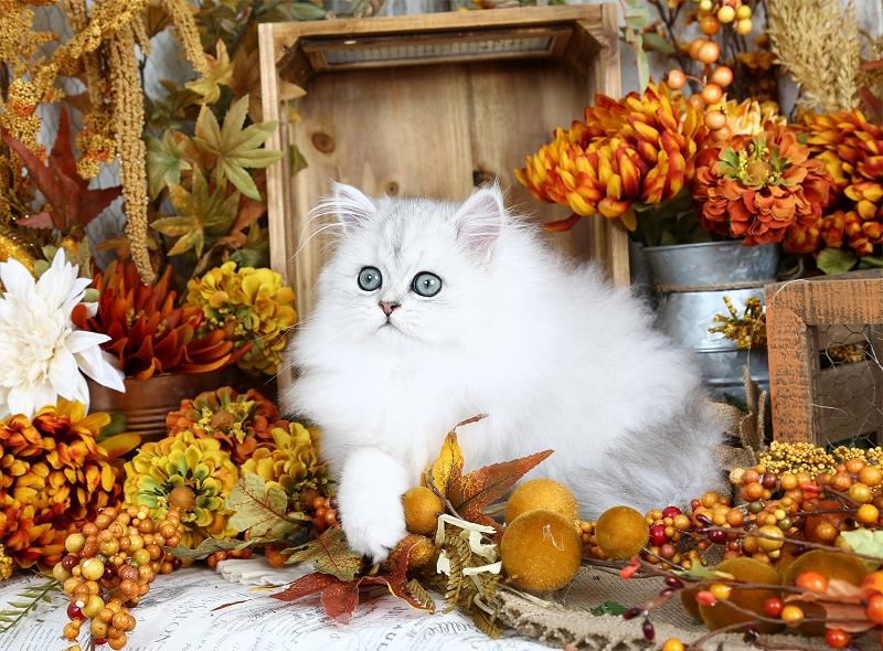 Chinchilla Silver Persian Kitten for Sale