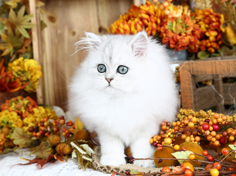 Silver Tip Teacup Persian Kitten