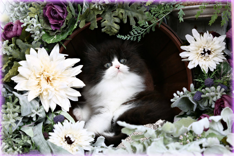 Black and White Persian Kitten