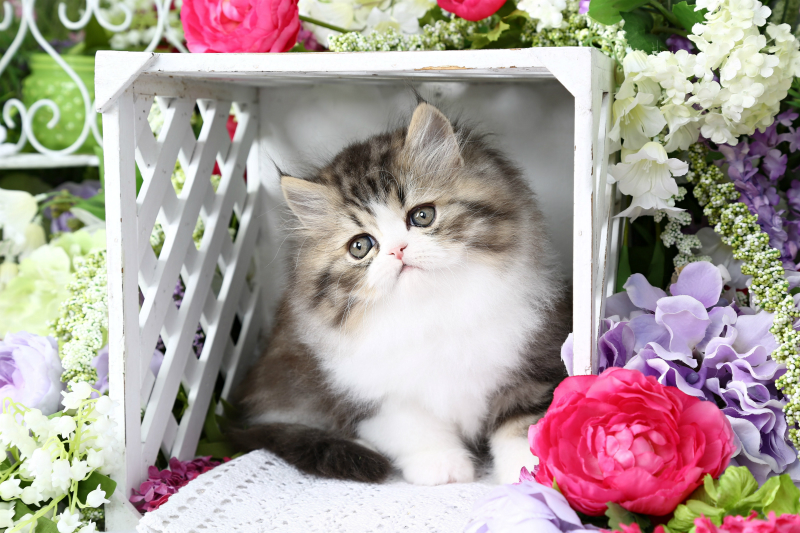 Golden Tabby & White Persian