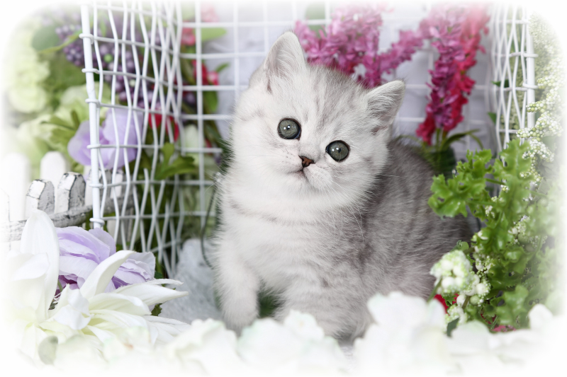 Exotic Short Hair Persian