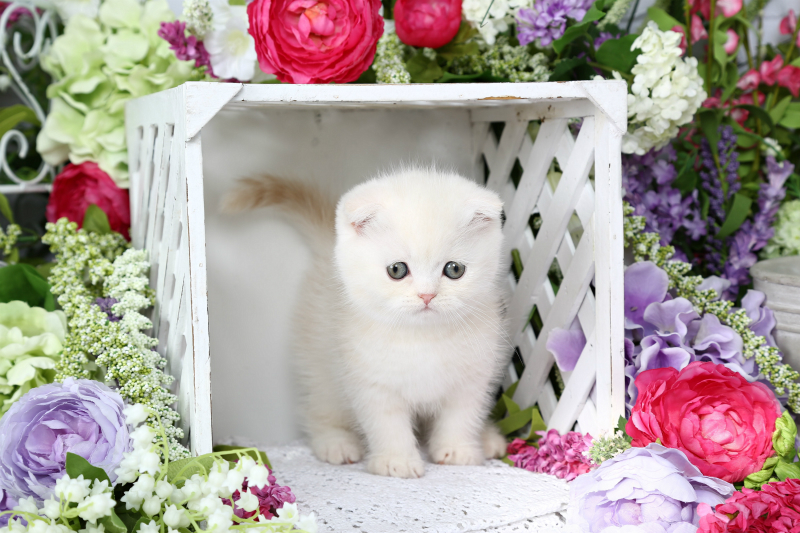 Exotic Short Hair Persian Kitten from Doll Face Persian Kittens Cattery
