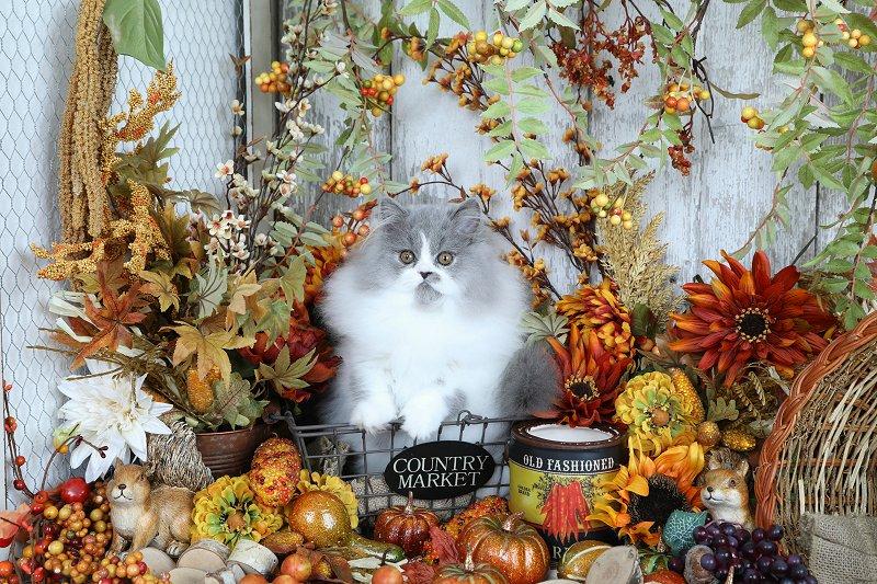 Blue & White Persian Kitten