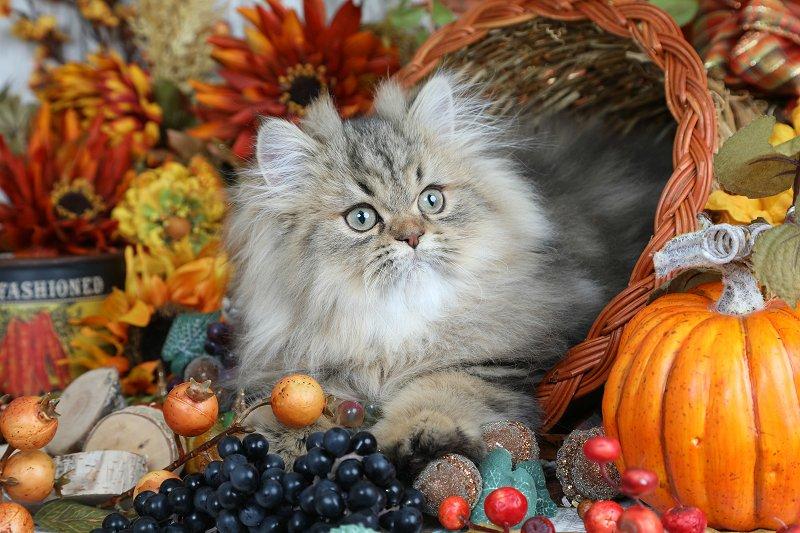 Lightly Shaded Golden Persian Kitten - Doll Face Persian Kittens