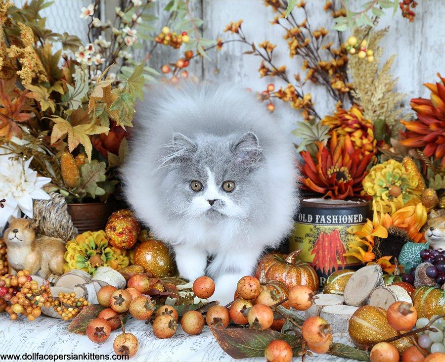 Blue and white Persian Kitten