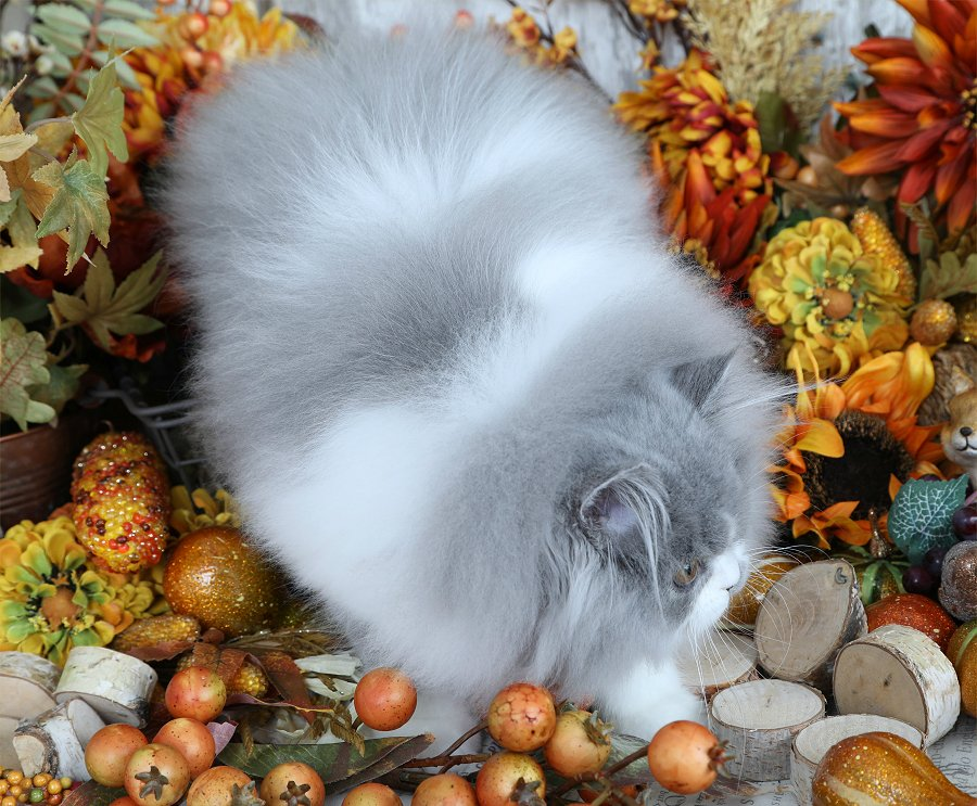Blue Smoke with white bicolor Persian Kitten
