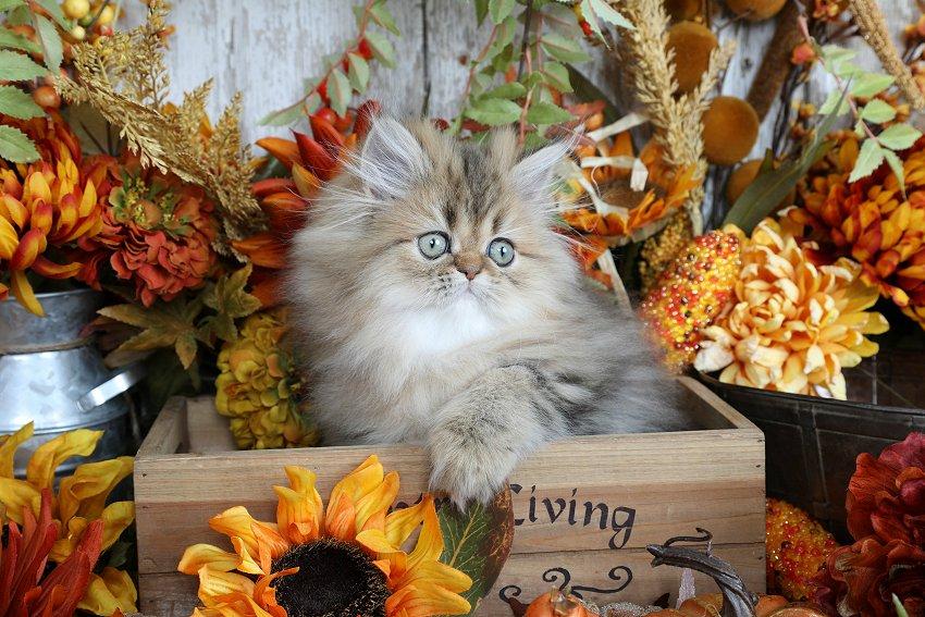 Golden Chinchilla Persian Kitten - Doll Face Persian Kittens