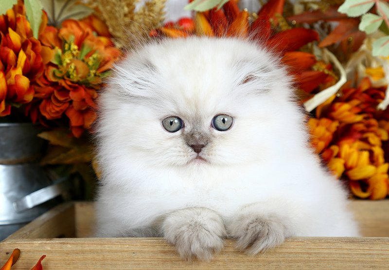 Chocolate Point Himalayan Fold - Doll Face Persian Kittens Copyright 2016