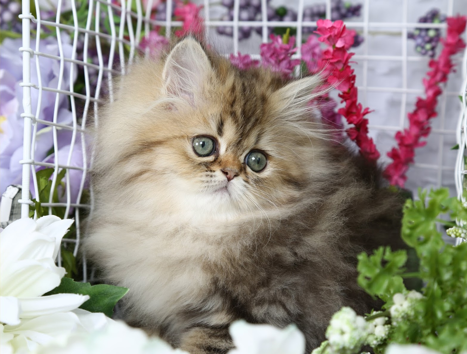 Lightly Shaded Golden Persian Kitten