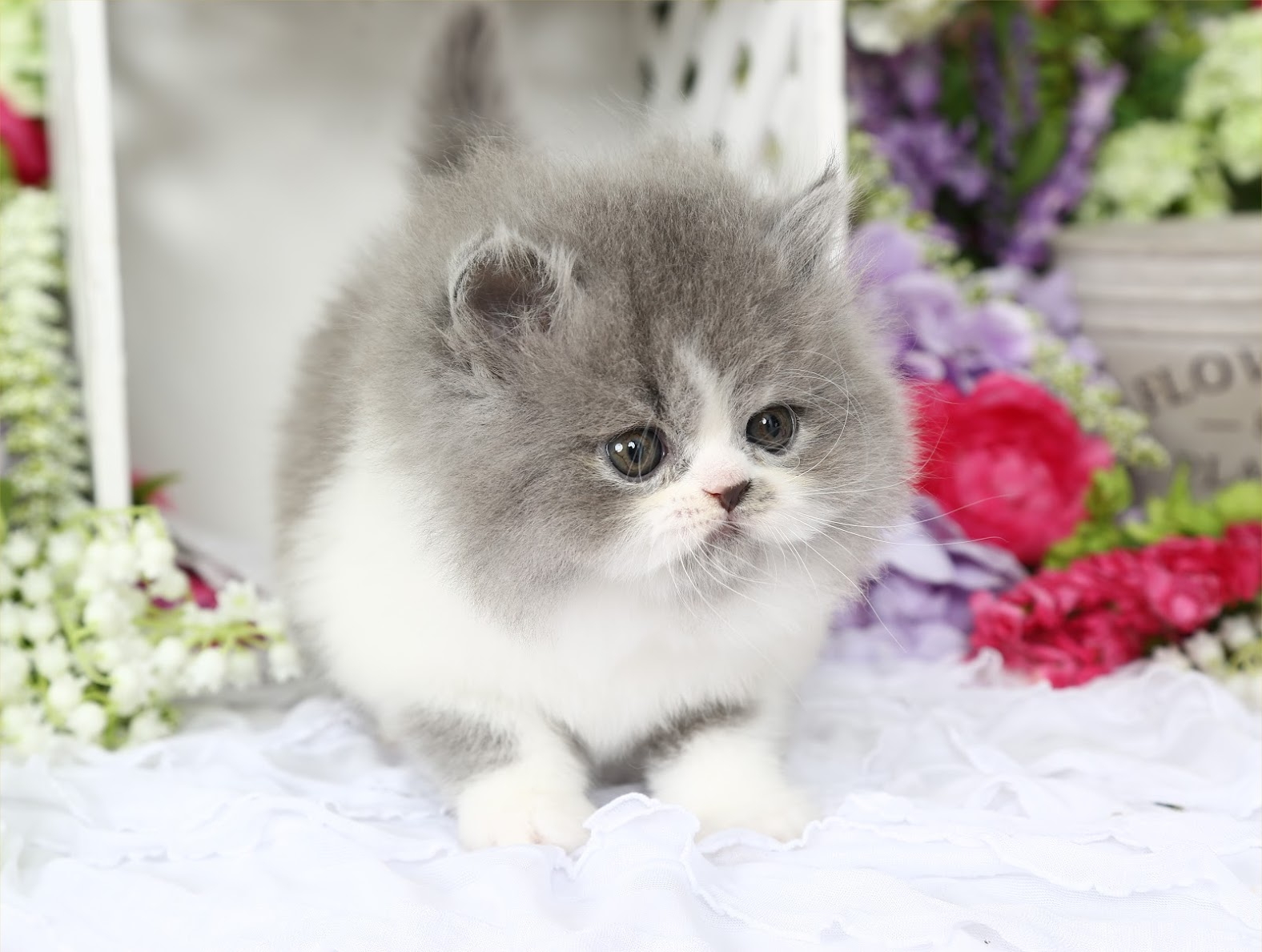 Blue and White Persian Kittens